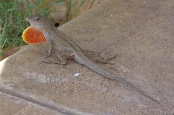 gecko rigolo