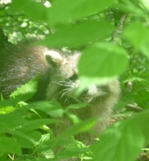 Raccoon Central Park